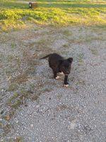 Mixed Puppies for sale in Murfreesboro, TN 37130, USA. price: NA