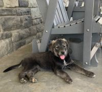 Mixed Puppies for sale in Brookfield, MO 64628, USA. price: NA