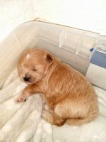 Mixed Puppies for sale in Port Charlotte, FL, USA. price: NA