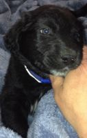 Mixed Puppies for sale in Grand Blanc, MI 48439, USA. price: NA