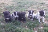 Mixed Puppies for sale in Alturas, CA 96101, USA. price: NA
