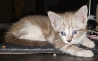 Mixed Cats for sale in Glendale, AZ, USA. price: NA
