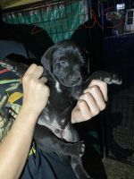 Mixed Puppies for sale in Des Moines, IA, USA. price: NA