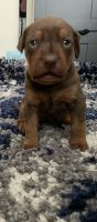 Mixed Puppies for sale in Hayward, CA, USA. price: NA