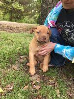 Mixed Puppies for sale in Jonesboro, AR, USA. price: NA