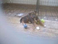 Mixed Puppies for sale in Titus, AL 36080, USA. price: NA