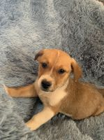 Mixed Puppies for sale in San Diego, CA, USA. price: NA