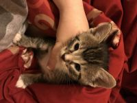 Mixed Cats for sale in 7720 Kling Rd, Mabelvale, AR 72103, USA. price: NA