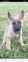 Mixed Puppies for sale in Roxboro, NC, USA. price: NA