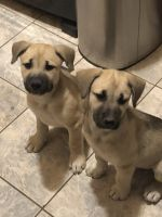 Mixed Puppies for sale in Laredo, TX, USA. price: NA