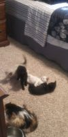 Mixed Puppies for sale in Bonham, TX 75418, USA. price: NA