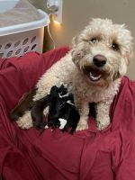 Mixed Puppies for sale in Blaine, MN 55449, USA. price: NA
