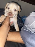 Mixed Puppies for sale in 1352 W 73rd St, Los Angeles, CA 90044, USA. price: NA