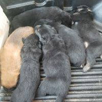 Mixed Puppies for sale in Mt Hermon, LA 70450, USA. price: NA