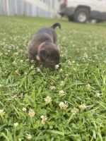 Mixed Puppies for sale in Jackson, MS, USA. price: NA
