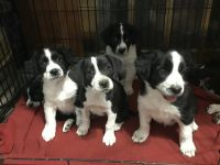 Mixed Puppies for sale in Rochester, NY, USA. price: NA
