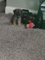 Mixed Puppies for sale in Garland, TX 75043, USA. price: NA