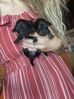 Mixed Puppies for sale in Marcy, NY 13403, USA. price: NA