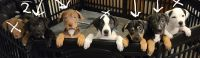 Mixed Puppies for sale in Gloversville, NY, USA. price: NA