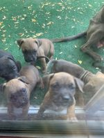 Mixed Puppies for sale in Bakersfield, CA, USA. price: NA