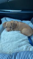 Mixed Puppies for sale in Evington, VA 24550, USA. price: NA