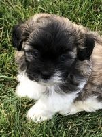 Mixed Puppies for sale in Kent, OH, USA. price: NA