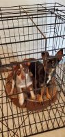Mixed Puppies for sale in Cleburne, TX, USA. price: NA