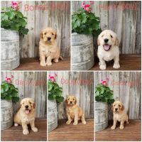 Mixed Puppies for sale in Shelbyville, IL 62565, USA. price: NA
