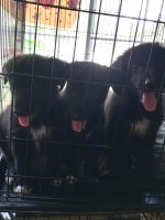 Mixed Puppies for sale in McHenry, IL, USA. price: NA