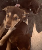 Mixed Puppies for sale in Talladega Springs, AL 35151, USA. price: NA