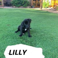 Mixed Puppies for sale in Horizon City, TX 79928, USA. price: NA