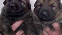 Mixed Puppies for sale in Pomona, CA, USA. price: NA