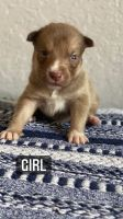 Mixed Puppies for sale in Miami-Dade County, FL, USA. price: NA