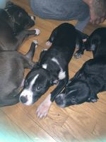 Mixed Puppies for sale in Cincinnati, OH, USA. price: NA