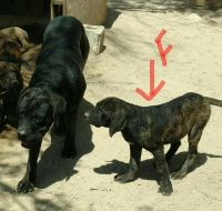 Molossus Puppies for sale in Victorville, CA, USA. price: NA