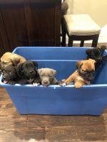 Molossus Puppies Photos