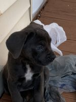 Molossus Puppies for sale in Amherst, NY, USA. price: NA