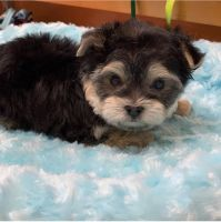 Morkie Puppies for sale in Houston, TX, USA. price: NA
