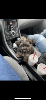 Morkie Puppies for sale in West Deptford, NJ, USA. price: NA