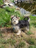Morkie Puppies for sale in Grundy Center, IA 50638, USA. price: NA
