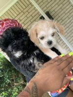 Morkie Puppies for sale in Lancaster, TX, USA. price: NA