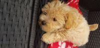 Morkie Puppies for sale in Modesto, CA 95350, USA. price: NA