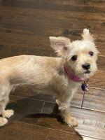 Morkie Puppies for sale in Huntsville, AL, USA. price: NA