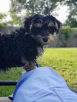 Morkie Puppies for sale in Columbia, SC, USA. price: NA
