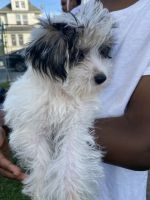 Morkie Puppies for sale in New York, NY, USA. price: NA