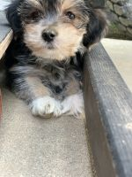 Morkie Puppies for sale in Kirksville, MO 63501, USA. price: NA
