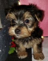 Morkie Puppies for sale in Coldwater, OH 45828, USA. price: NA