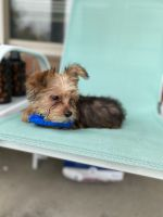 Morkie Puppies for sale in Columbus, OH, USA. price: NA