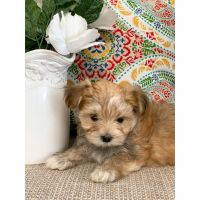 Morkie Puppies for sale in Cherryvale, KS 67335, USA. price: NA