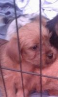 Morkie Puppies for sale in Red Bank, TN 37415, USA. price: NA